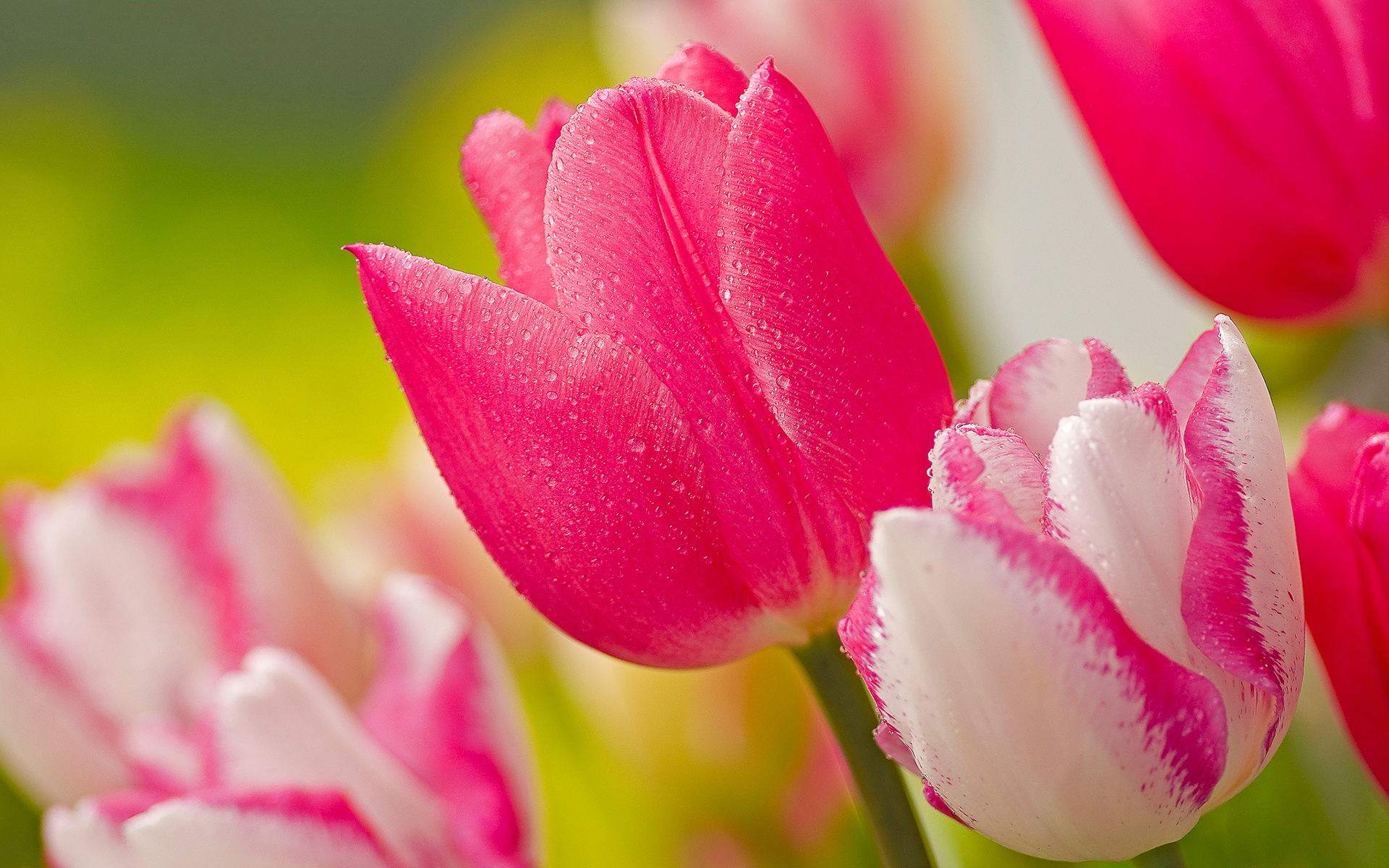 Tulips flower wallpapers pixelstalk pink tulip flowers images and wallpapers thecheapjerseys Choice Image
