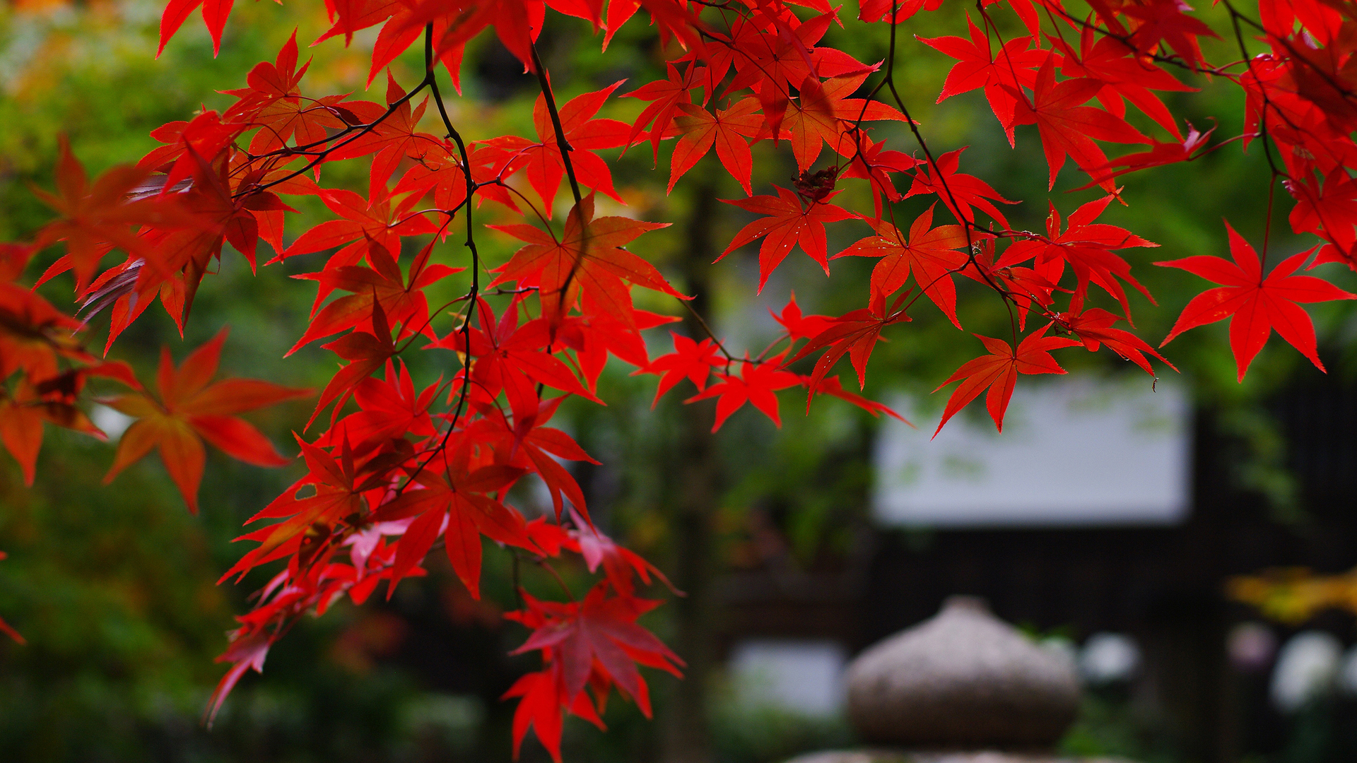 Beautiful Red Leaves Photo Nature Wallpaper HD Free.