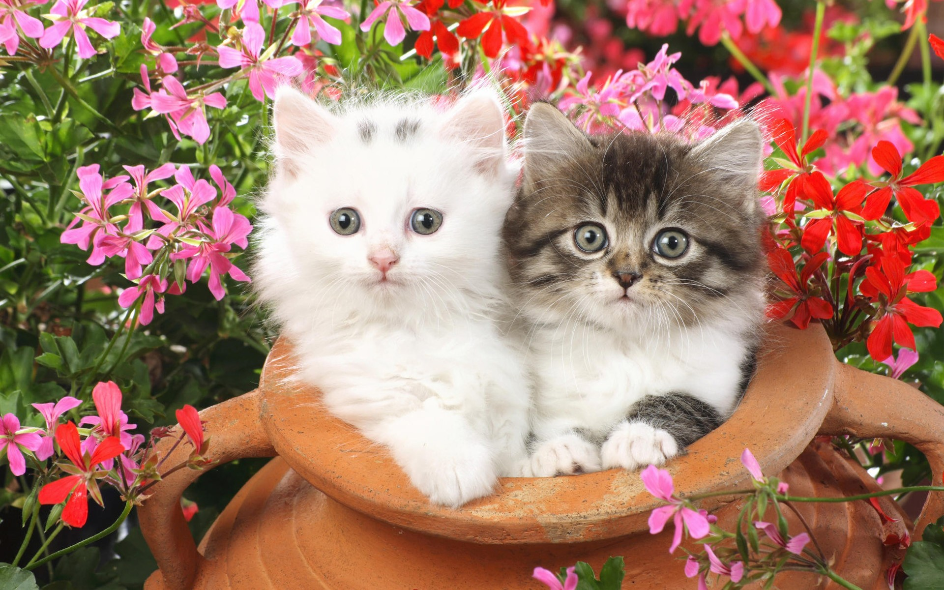 Double Cat Wallpaper Pixelstalk Net