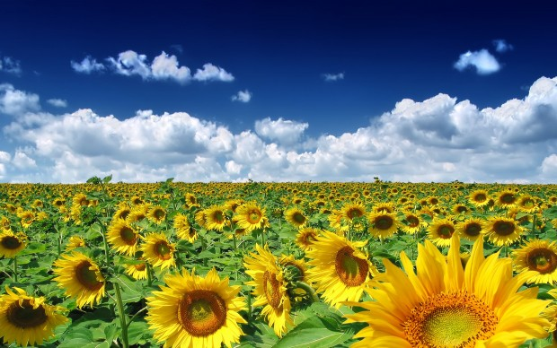 Sun Flowers Summer Wallpaper HD.