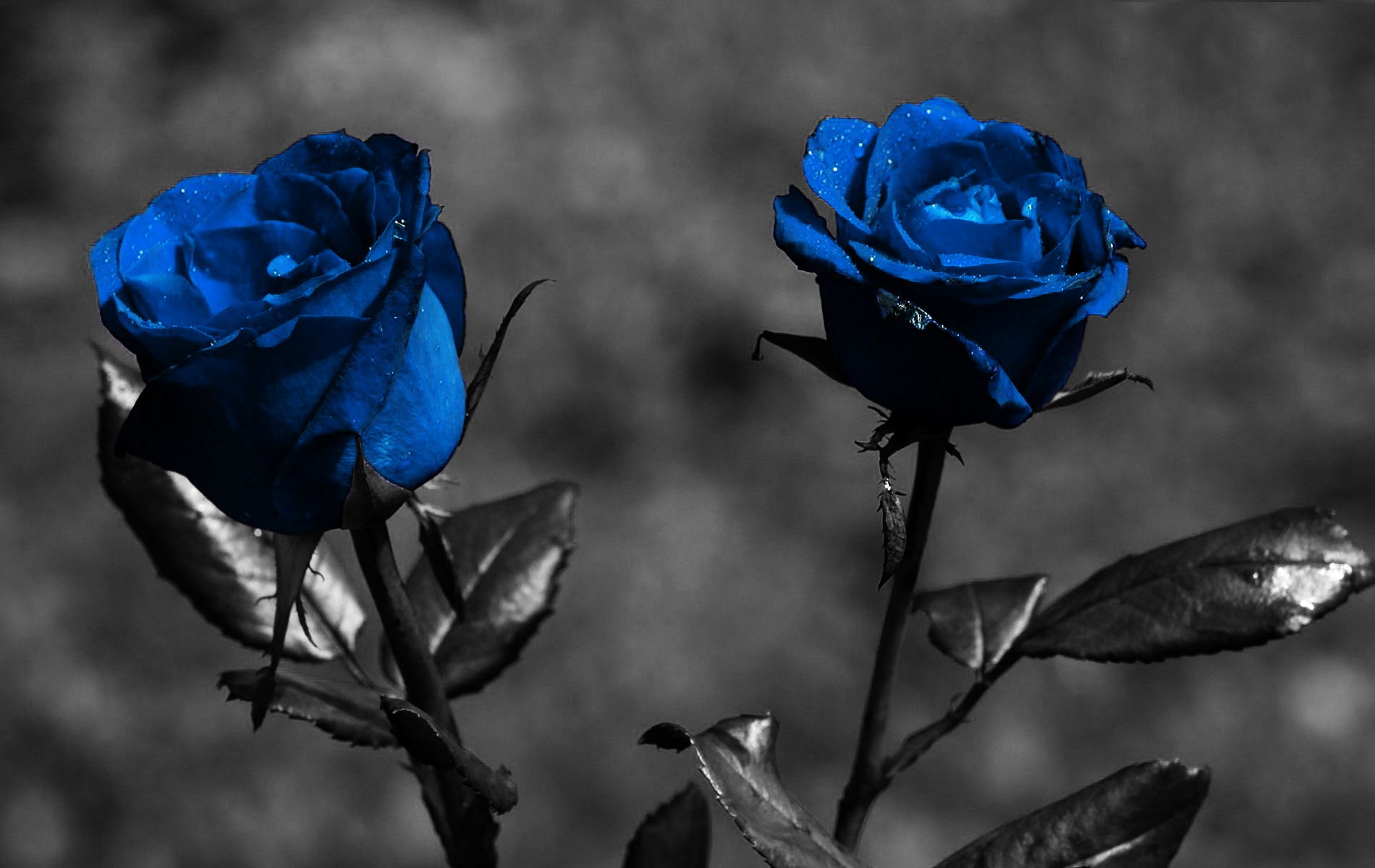 Blue Rose Wallpaper Hd Pixelstalk Net