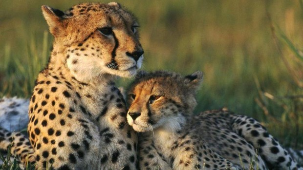Photos download cheetah wallpapers HD.