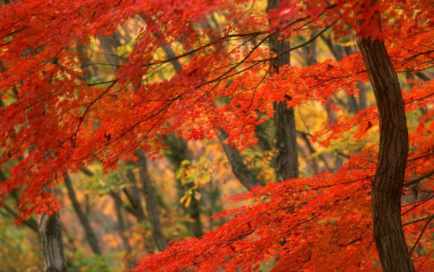 Autumn leaves wallpapers.