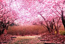 Awesome cherry blossom park hd 1080p wallpapers.