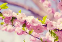 Desktop cherry backgrounds blossom pictures.