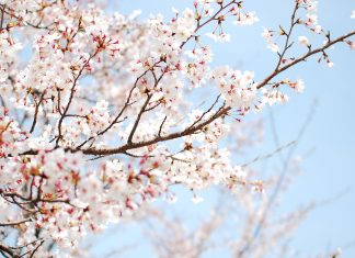 Free Download cherry blossom wallpaper white.