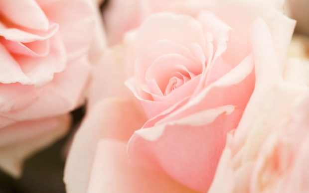 Light Pink Flowers Wallpaper.