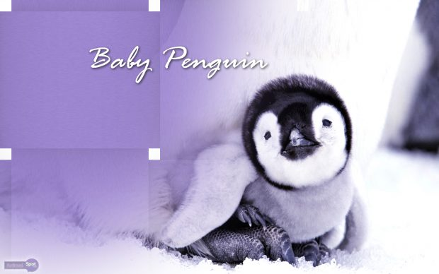 Baby Penguin Photo.