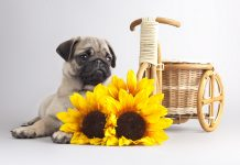 Free Desktop Pug Wallpapers Download.