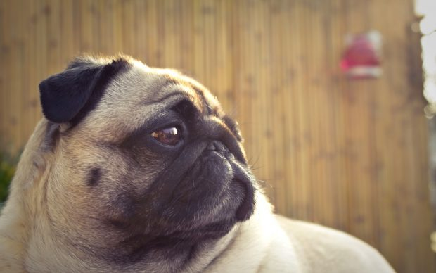 Free Desktop Pug Wallpapers HD.