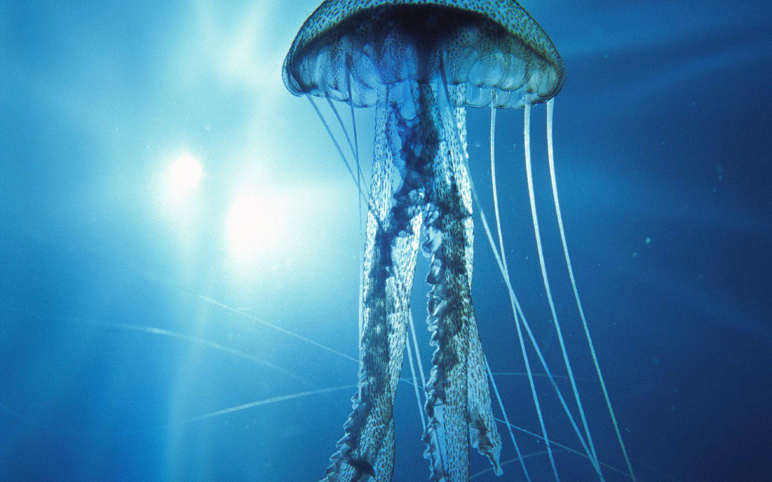 Jellyfish wallpapers hd pixelstalk net - Jellyfish hd images ...