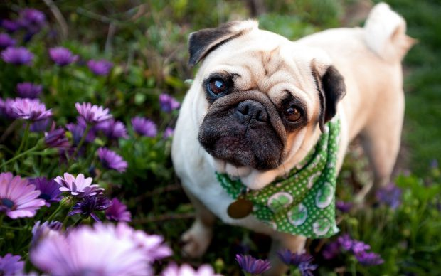 Images Pug Wallpapers HD.