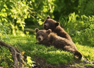 Lovely Brown bears wallpaper.
