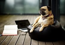 Pictures Pug Wallpapers HD.