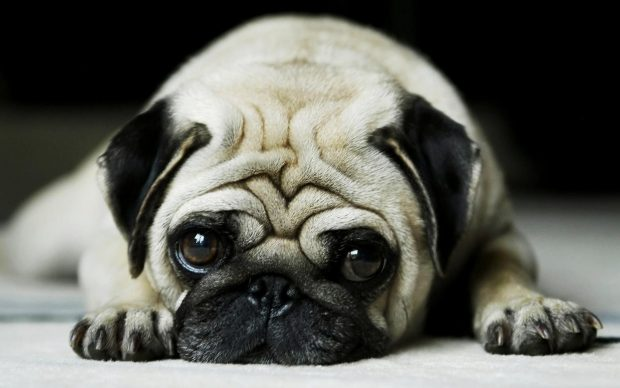 Pug Wallpapers HD For Desktop.
