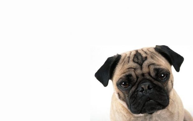 Pug wallpaper hd wide wallpaper.