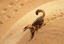 Scorpion Wallpapers HD.