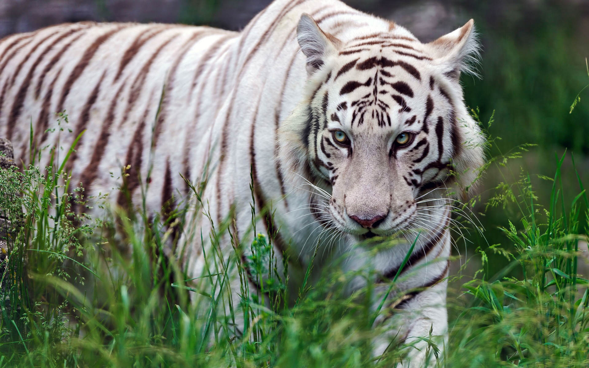 white tiger wallpapers free download | pixelstalk