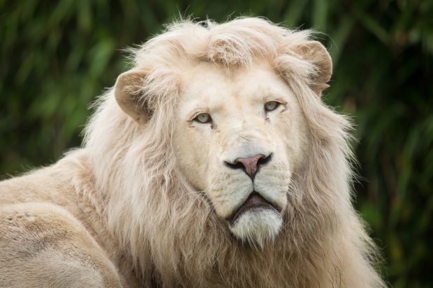 White Lion HD Photo.