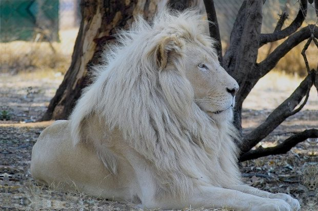 White Lion HD Photos.