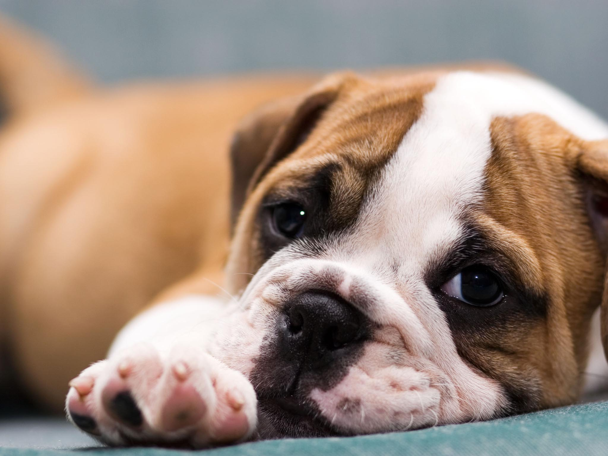 Wallpapers puppies impremedia cute puppy bulldog background voltagebd Images