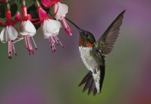 HD Hummingbird Wallpaper Full.