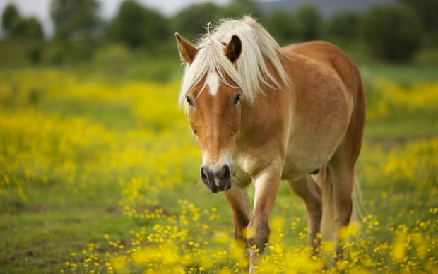 Wallpapers HD Horse.