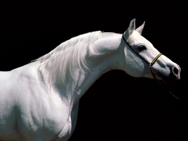 Arabian Horse Background for Desktop.