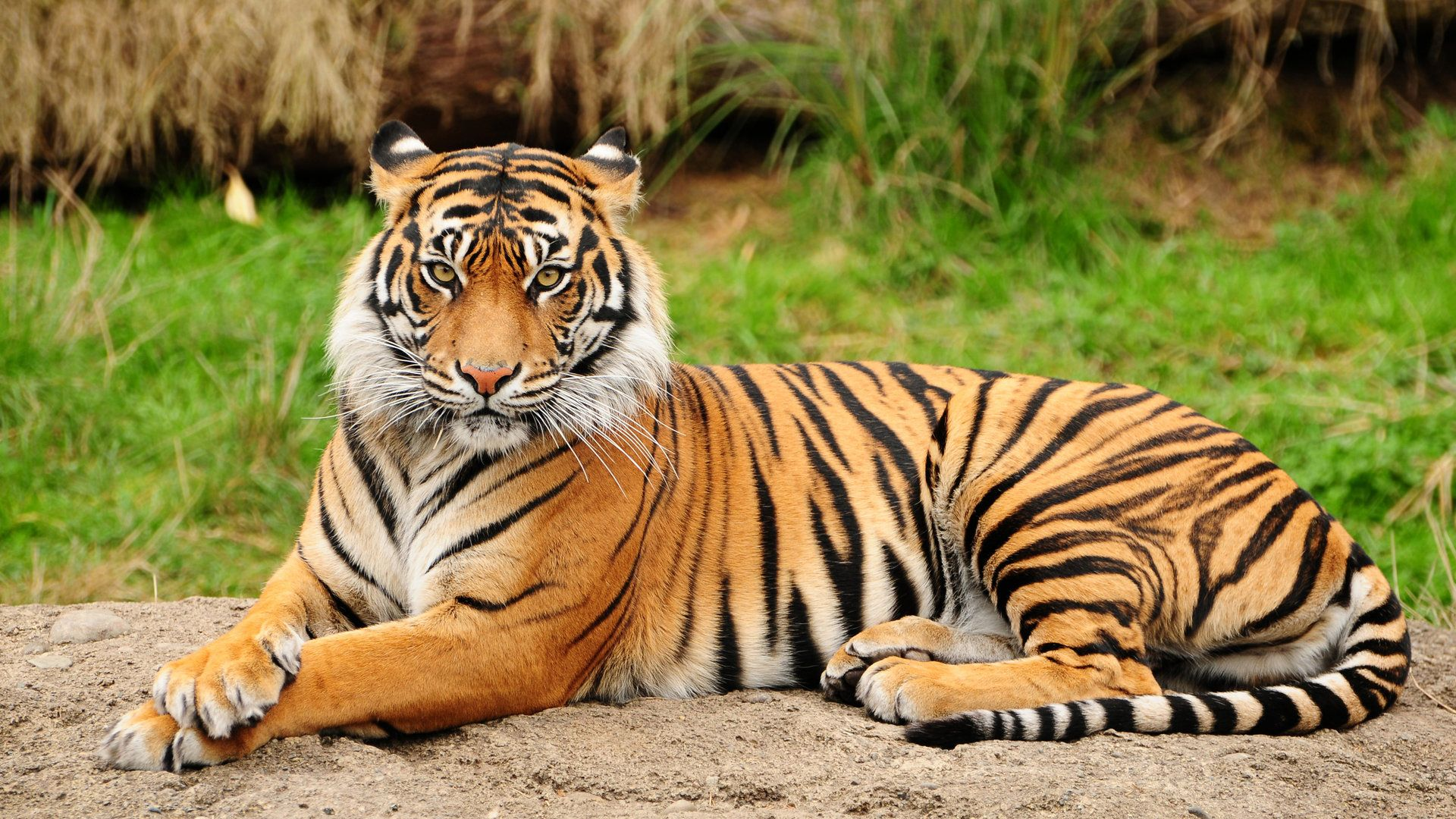 download free bengal tiger wallpaper | pixelstalk