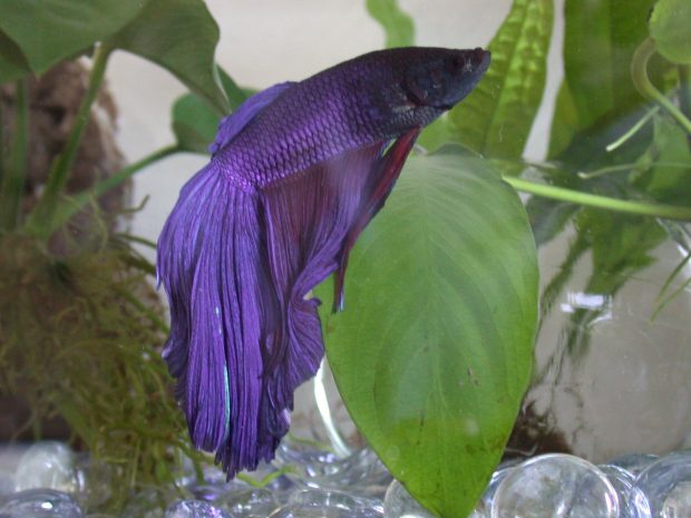 Betta Fish Backgrounds.