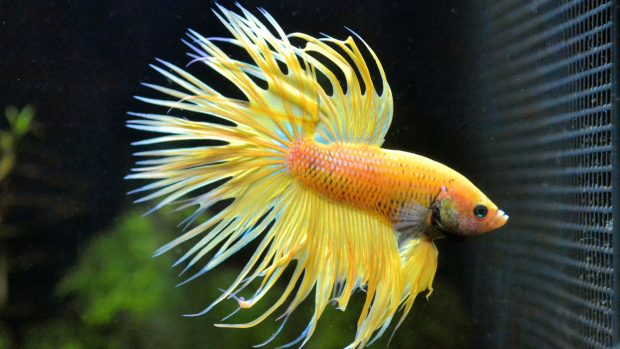 Betta Fish Images.