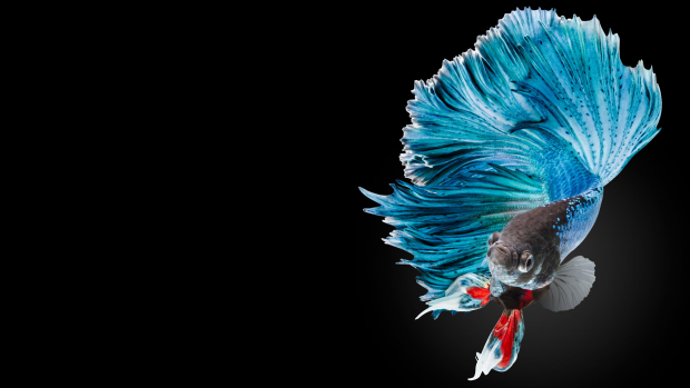 Betta Fish Photos Download.