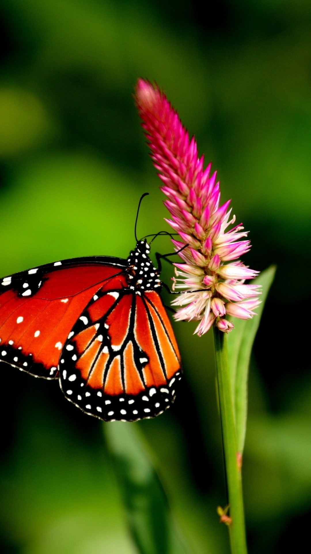 Butterfly Wallpaper For Android Pixelstalk Net