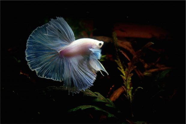 Dessktop Betta Fish Wallpapers.