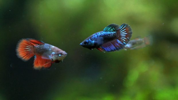 Download Betta Fish Backgrounds.