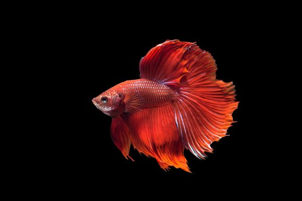 Free Betta Fish Photos.