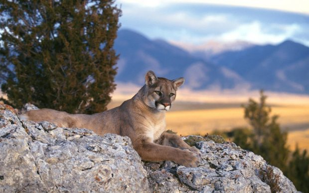 HD cougar wallpaper download.
