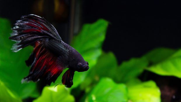 Wallpapers Betta Fish Download.