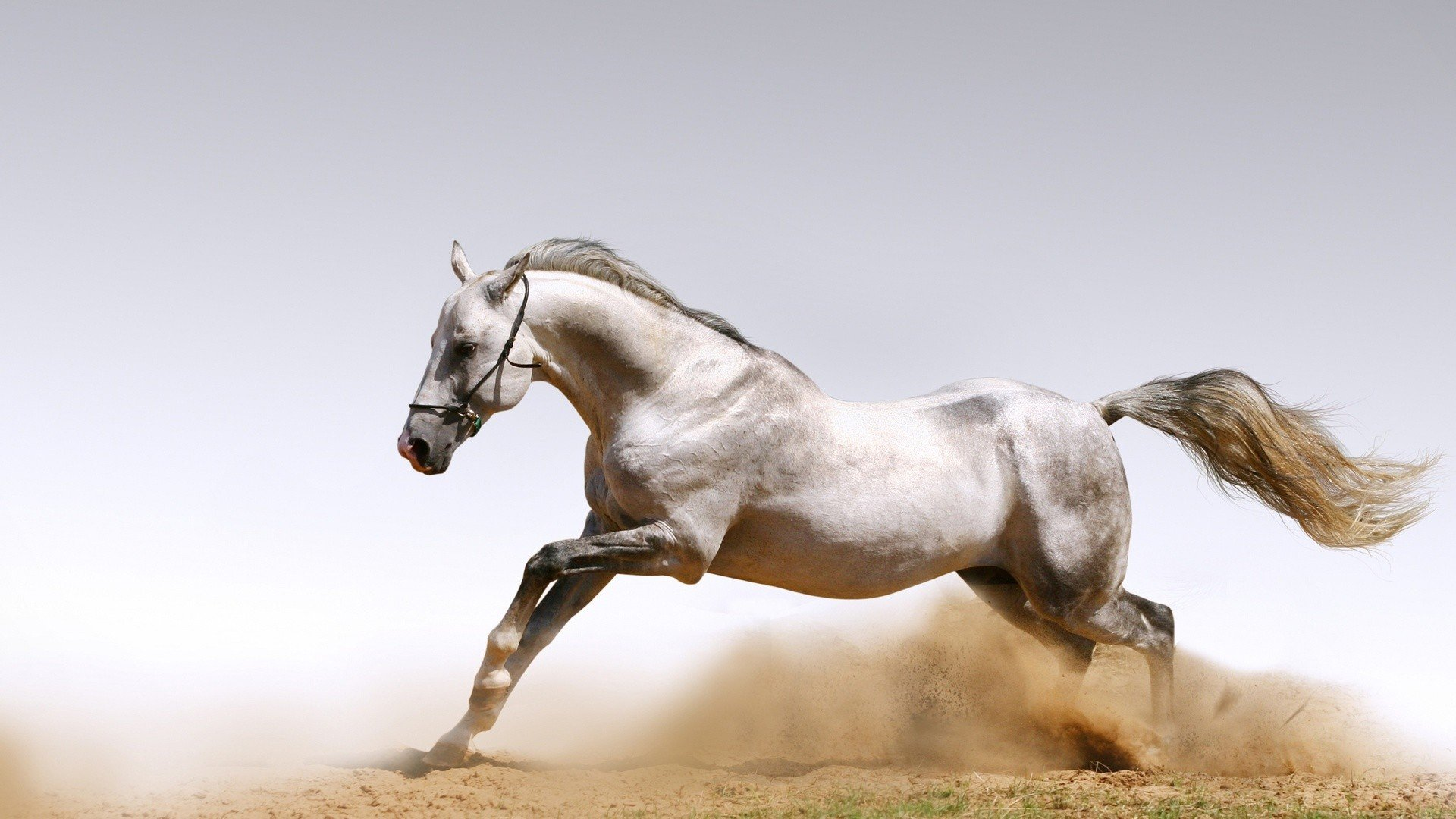 High Resolution Arabian Horse Desktop Wallpaper Pixelstalk Net