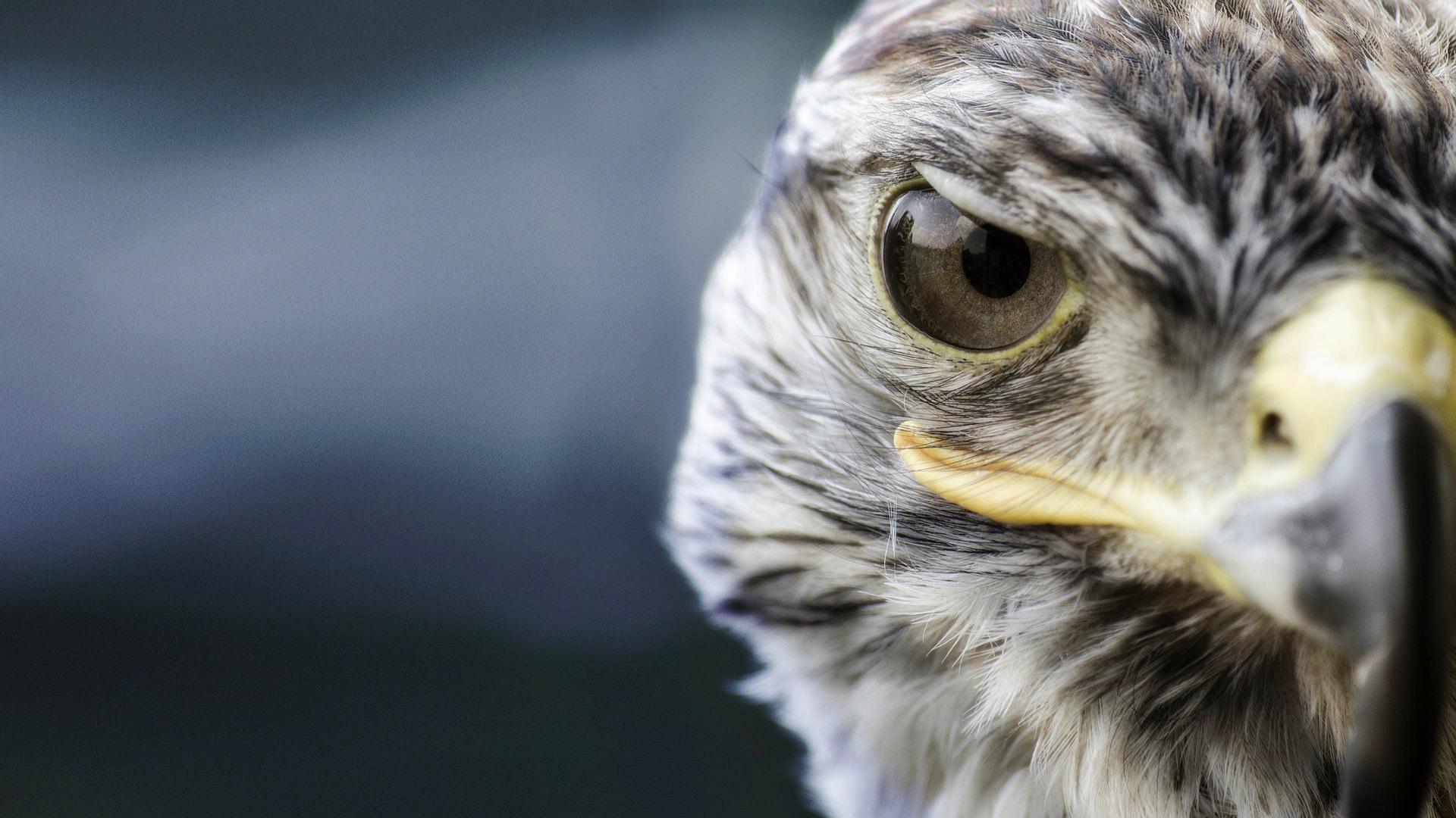 природа животные птица сокол nature animals bird Falcon  № 2993157 загрузить