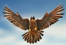 Falcon clipart wallpaper hd.