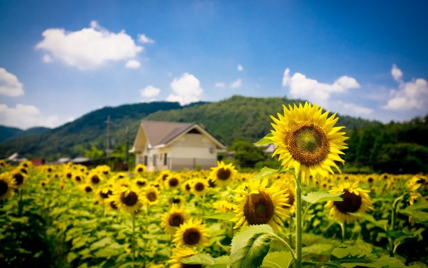 Images Sunflower Download.
