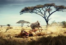 Wild lion zebra chase wide photos.