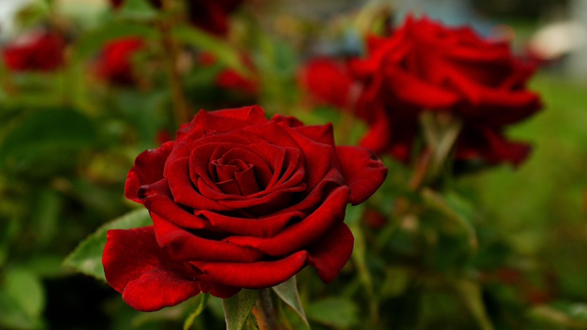 Red Rose Desktop Backgrounds Wallpaper Hd Pixelstalknet