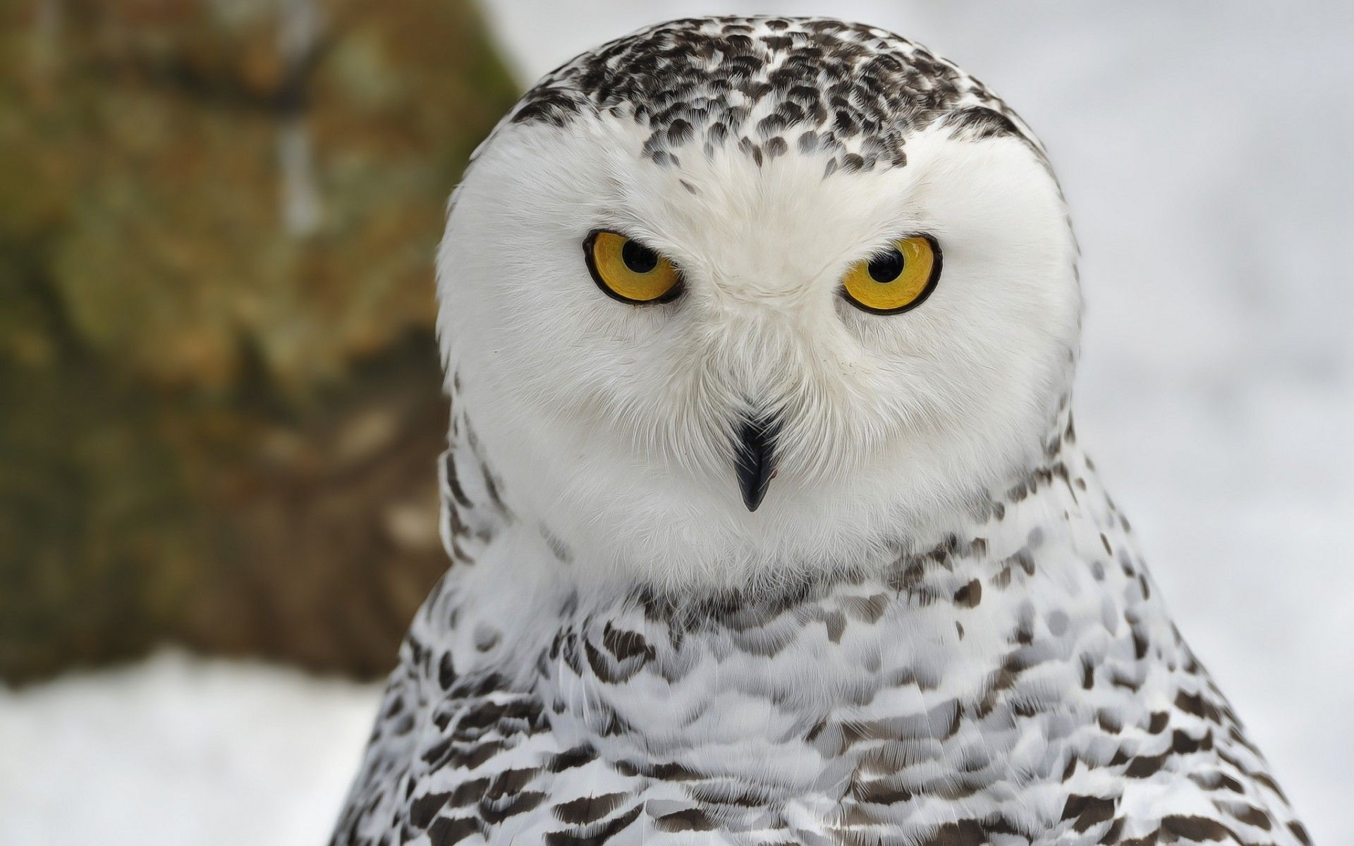 White Owl HD Wallpaper pictures images.