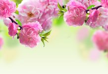Spring Flowers Wallpapers HD.